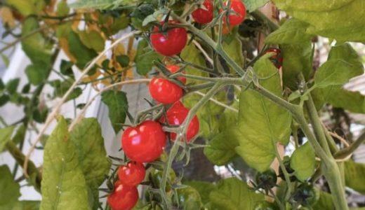 ミニトマトのプランターでの育て方☆初心者でも大丈夫!簡単な方法や栽培のポイント